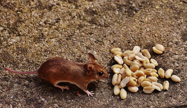mouse and peanuts
