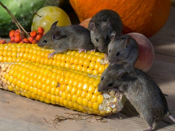 many mice eating corn