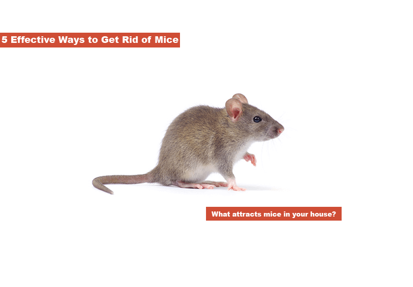 What attracts mice in your house